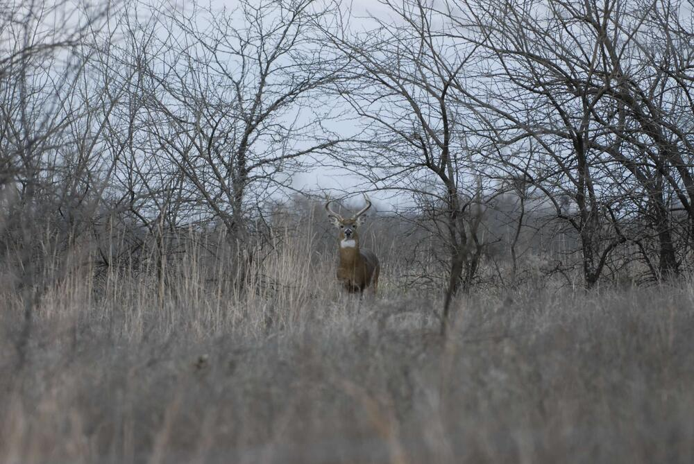 A deer with antlers staring at the photographer in a winter field of grass and trees