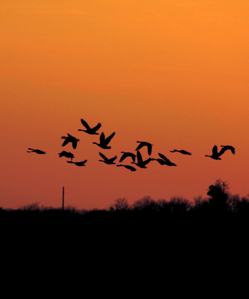 A flock of geese crossing a red sky