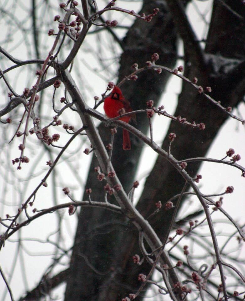 A red cardinal sitting on a tree branch